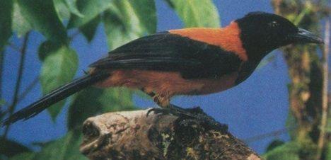 Zehirli Kuş Pitohui  Pitohui bilinen tek zehirli kuştur. Kukuleteli pitohui diye adlandırılan bu kuşun derisi parlak kavuniçi rengindedir. Siyah tüyleri ise son derece zehirlidir. Bu kuşları keşfeden bilim adamı ağına düşen kuşları yakalamak isterken eli, keskin gagası ve pençeleri tarafından kesilmiş ve zehirin tesiriyle şişmiştir. 1992 yılında Yeni Gine'de Chicago Üniversitesi'nden bir araştırmacı tarafından bulunmuştur.